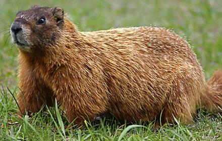 hh-animals-groundhog-6